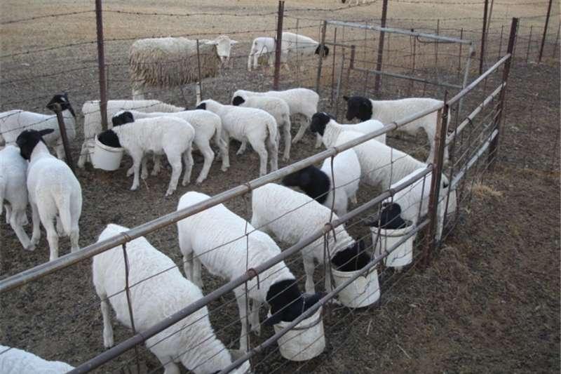 Livestock Sheep 7 Spekvet Swartkop Dorper Teelooitjies te koop