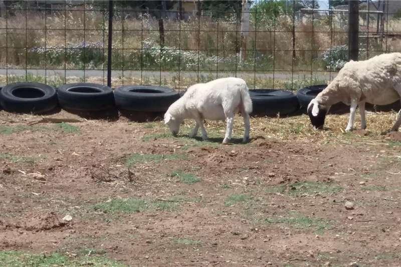 Sheep Dorper Rams (Lambs)   Sheep Livestock