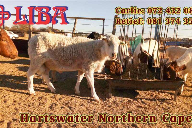 Sheep Gorgeous animals for sale every Tuesday and Wednes Livestock