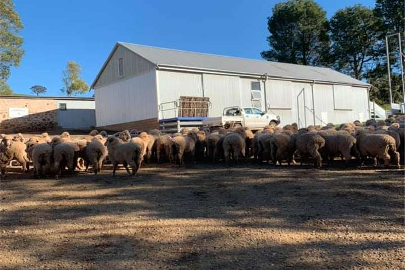 Sheep Healthy Merino/Dorper Sheep. Livestock