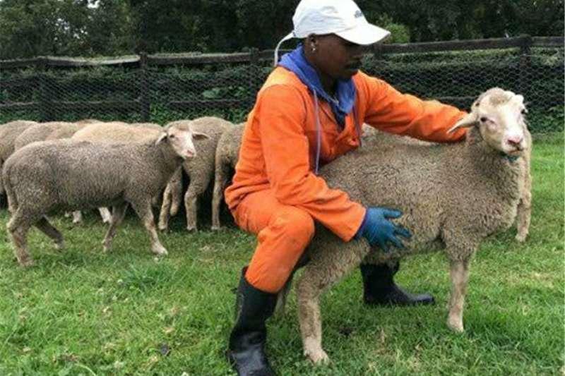 Livestock Sheep Merino Lamb