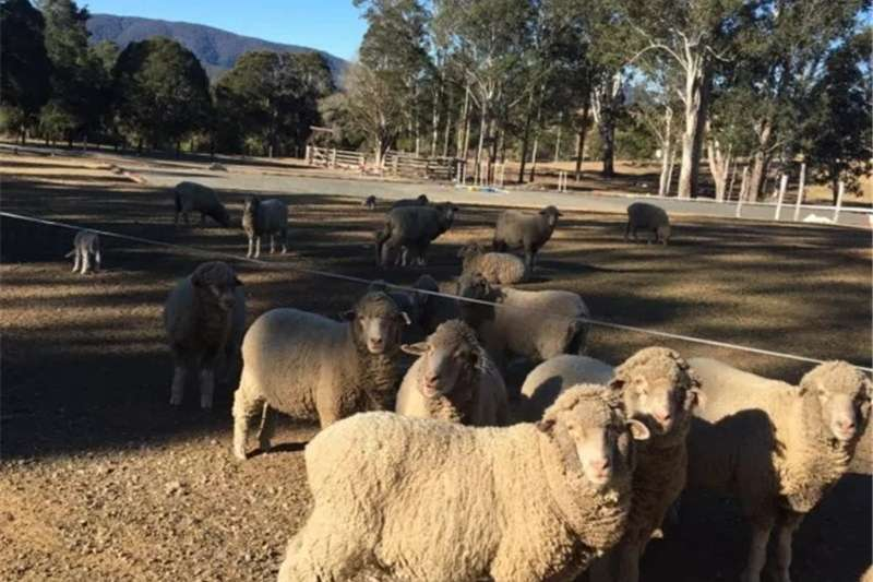 Sheep Pure Breed Merino Sheep for sell Livestock