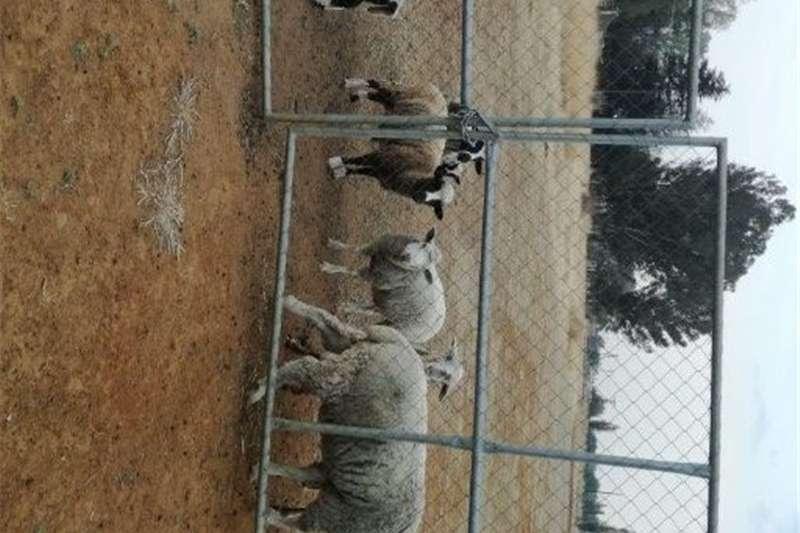 Sheep Sheep for sale Livestock