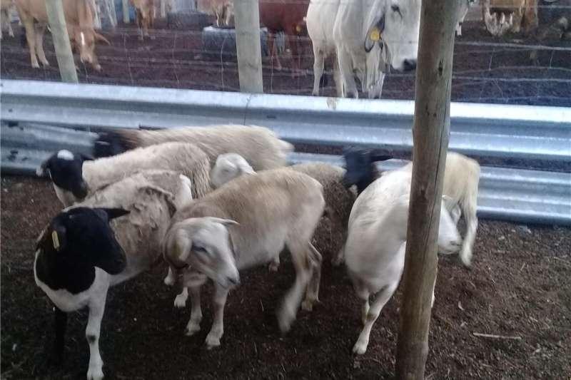 Livestock Sheep Sheep