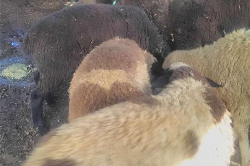 Livestock Sheep Sheep lamps