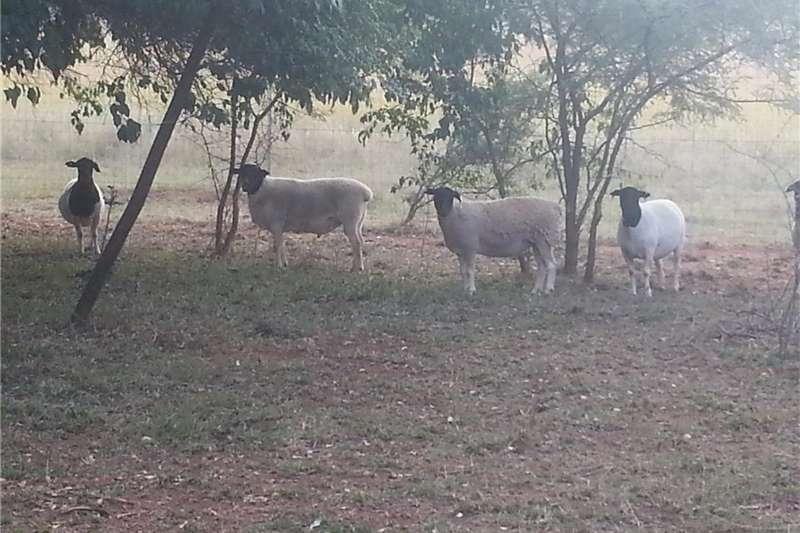 Livestock Sheep Skaape te koop.