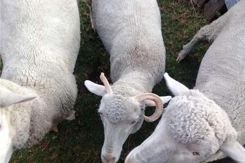 Livestock Sheep Skape te koop