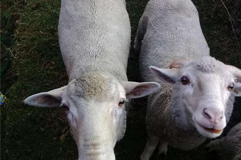 Sheep Skape te koop Livestock