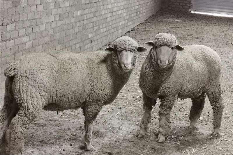 Livestock Sheep Stud SAVM rams for sale