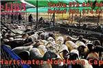 Sheep Weekly auctions at Liba Hartswater Northern Cape Livestock