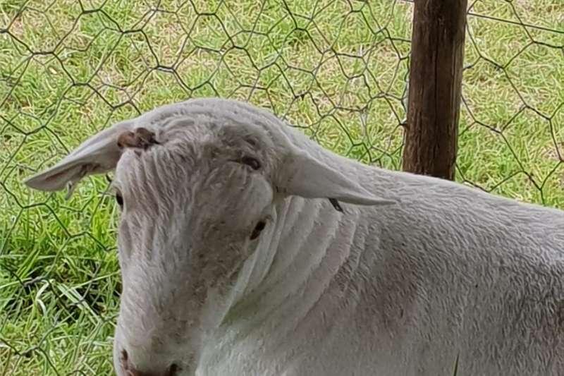 Livestock Sheep Wit Dorper Ram te Koop