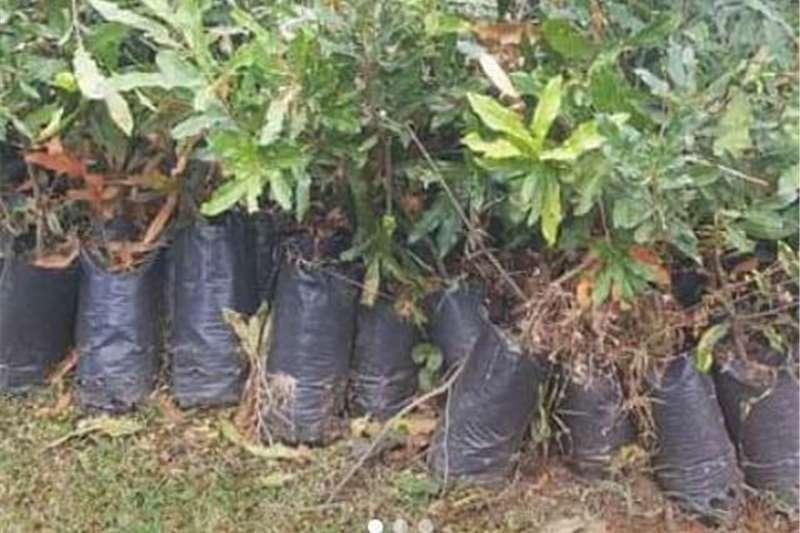 Macadamian plants for sae Other
