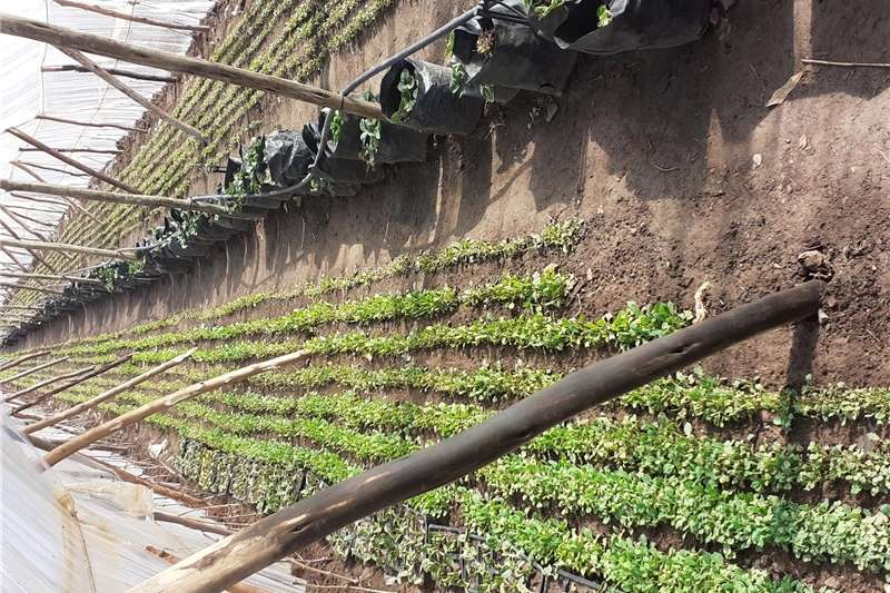 Vegetable Seedlings For Sale Other