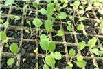 Kale Seedlings R250 per 1000 contact Bil Wudhu See Seeds fertilisers and chemicals